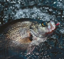 Lake Okeechobee Fishing Report on Crappie On Lake Okeechobee    Lake Okeechobee Bass Fishing Guides