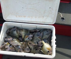 Bluegill are Everywhere